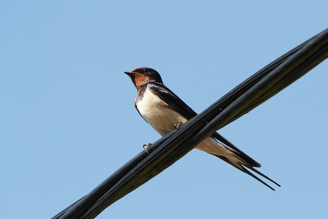 Swallow waiting to be fed
