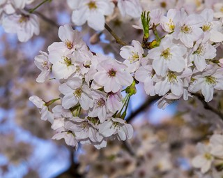 The bloom of cherry blossoms | by publicdomainphotography