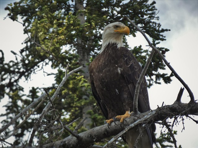 Águila calva (o de cabeza blanca) en Alaska