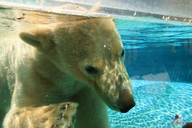 Eisbär Fiete im Sosto Zoo 28.05.2017 009