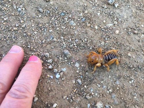 Jerusalem cricket (hand for scale)