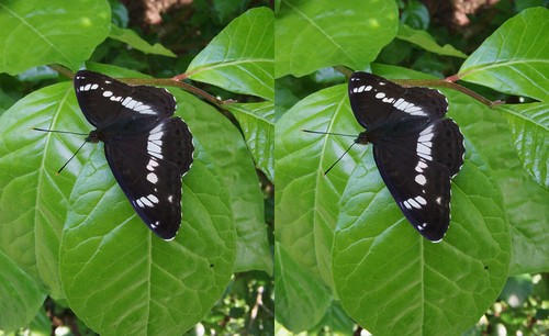Limenitis camilla, stereo parallel view