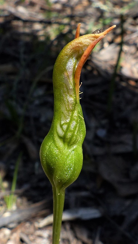 Pterostylis plumosa - Bearded Greenhood, fertilized (2)