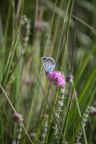 Silver-studded Blue on Cross-leaved Heath