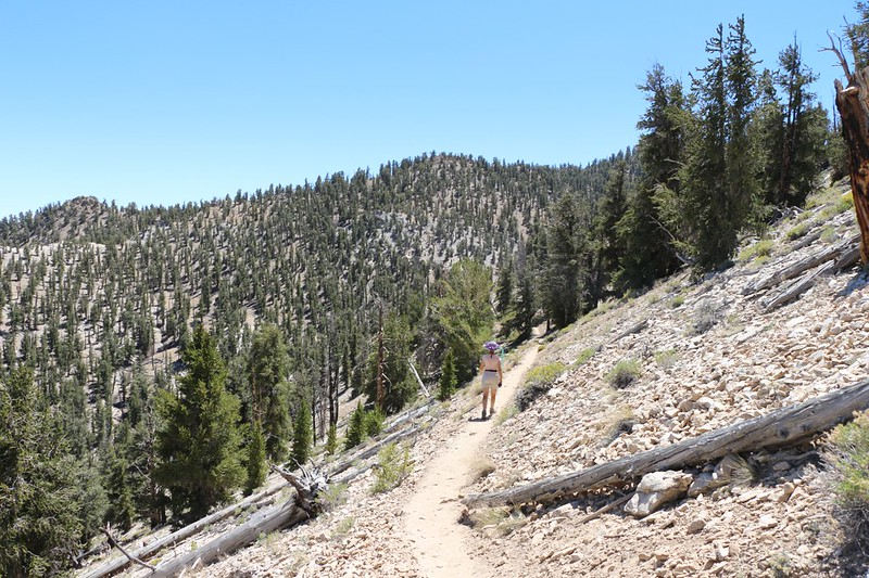 Hiking through the Bristlecone Pine grove on the Methuselah Trail