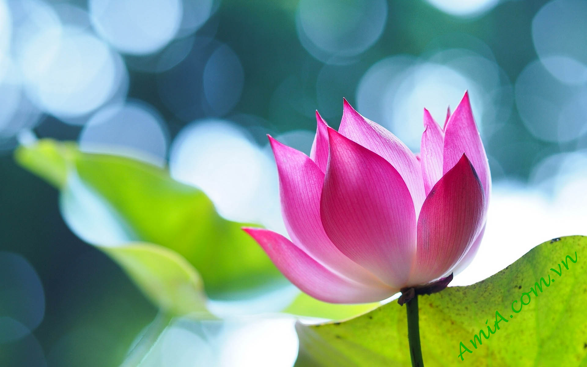 Lotus flower for background desktop