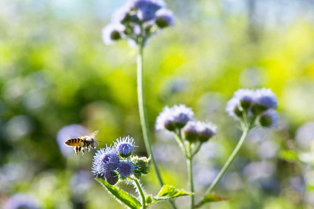 農民留下野花可吸引蜜蜂等授粉昆蟲,對農作物有益。攝影:林世豐
