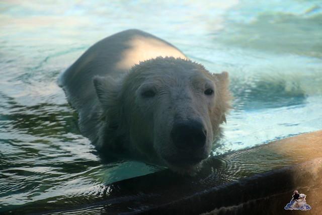 Eisbär Fiete im Sosto Zoo 28.05.2017 101
