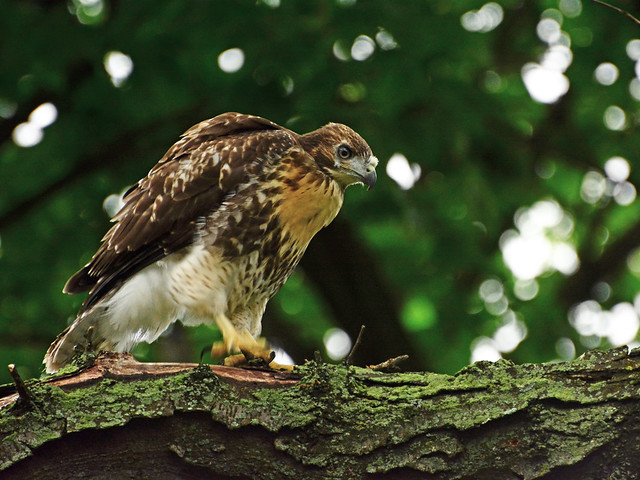 GT Red-Tail Fledgling - 5060
