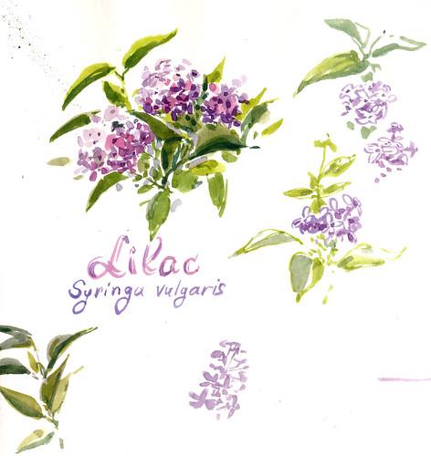 Sketchbook #103: Lilac