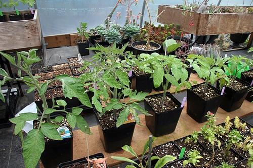Garden 2017 Tomatoes