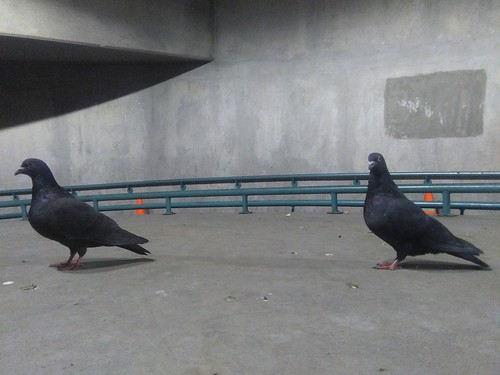 Two pigeons, coal-black