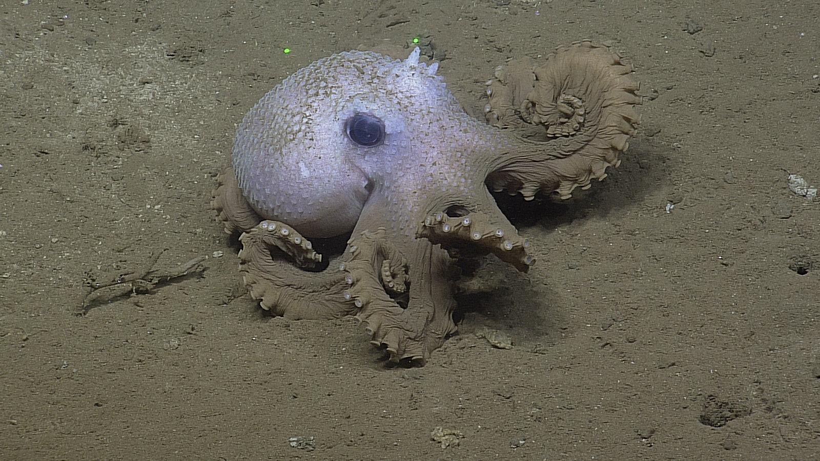 Beautiful octopus exploring the Cascadia Basin area