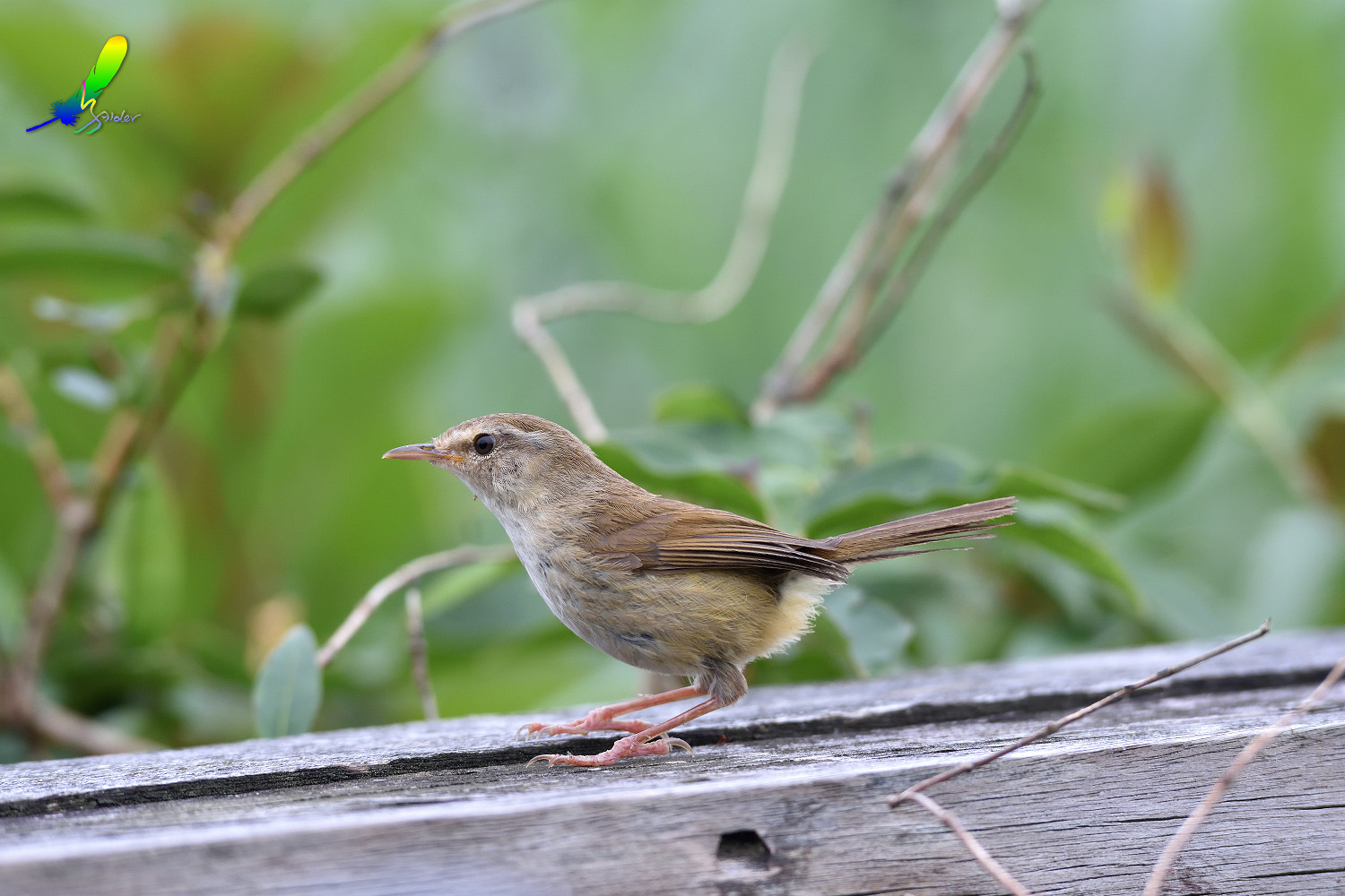 Strong-footed_Bush_Warbler_4212