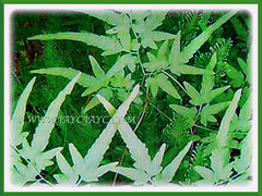 The gorgeous fronds of Lygodium japonicum (Japanese Climbing Fern, Climbing Fern, Vine-like Fern), 27 June 2017