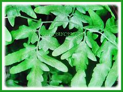 Mesmerizing green fronds of Lygodium japonicum (Japanese Climbing Fern, Climbing Fern, Vine-like Fern), 27 June 2017