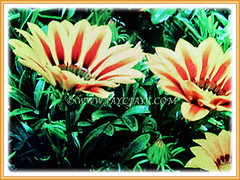 Attractive flowers and leaves of Gazania rigens (Treasure Flower, Terracotta Gazania, Coastal Gazania, Butter Flower), 17 May 2017