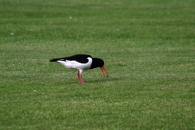 Oystercatcher catching