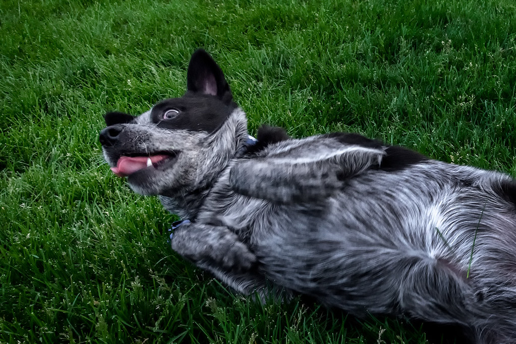 Trouble wallowing in the cool grass at de Koevend Park in Centennial, CO