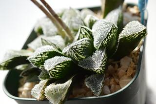 DSC_5794 Haworthia cv. 'Shin Kourizatou'  ハオルチア 新氷砂糖