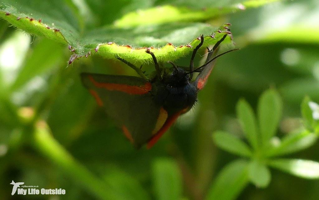 P1080856 - Cinnabar Moth, Carsington Water