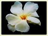 Nerium oleander (Rosebay, Nerium, Oleander)
