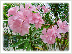 Gorgeous pink flowers of Nerium oleander (Rosebay, Nerium, Oleander), 26 July 2011