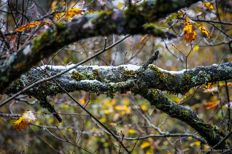 Goteo en rama de árbol en el Bosque de Orgi