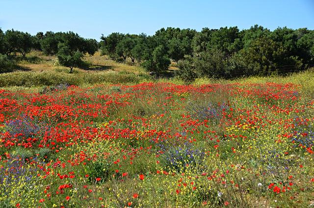 Spring flowers, Crete