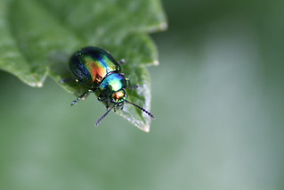Chrysolina fastuosa | by AwildRover