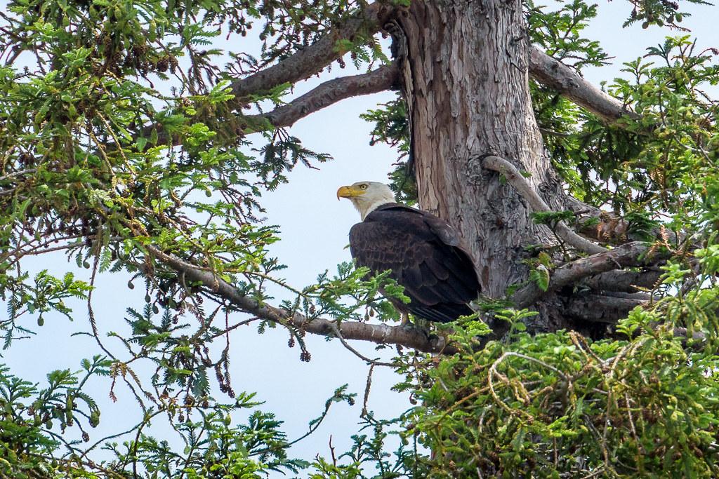 20170524_Eagle_perched