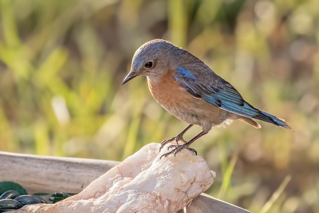 Western-Bluebird-4-7D2_061417