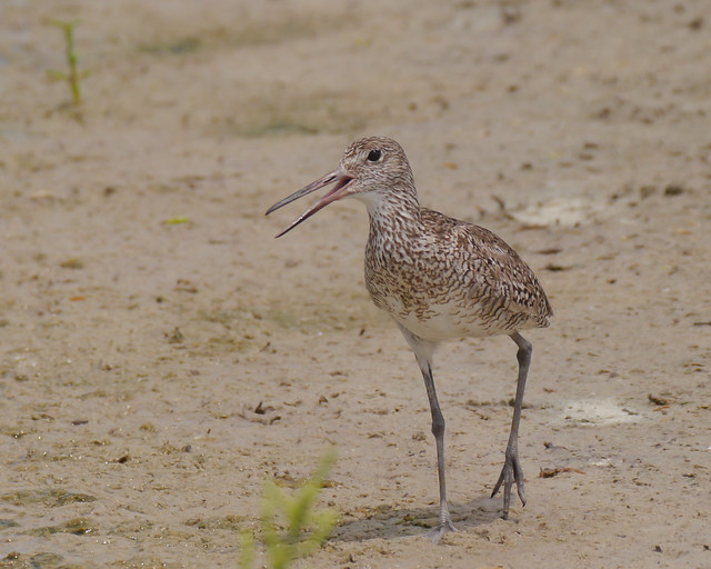 Willet Scolding - 1