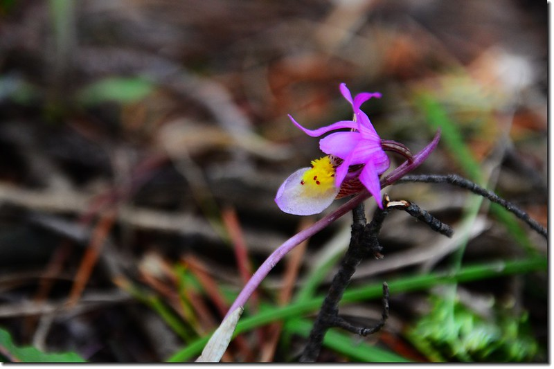 Calypso Orchid(Fairy Slipper Orchid) (13)