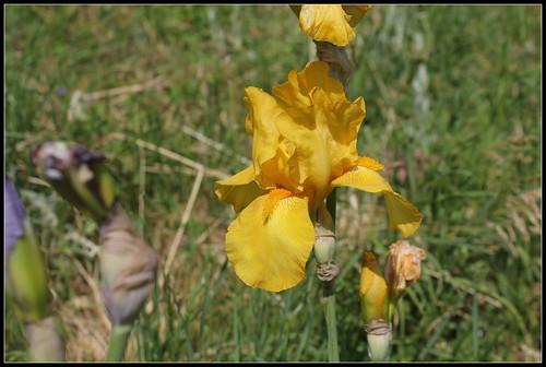 Iris 'Zantha' - O. Fay 1947 34264654064_6985051938