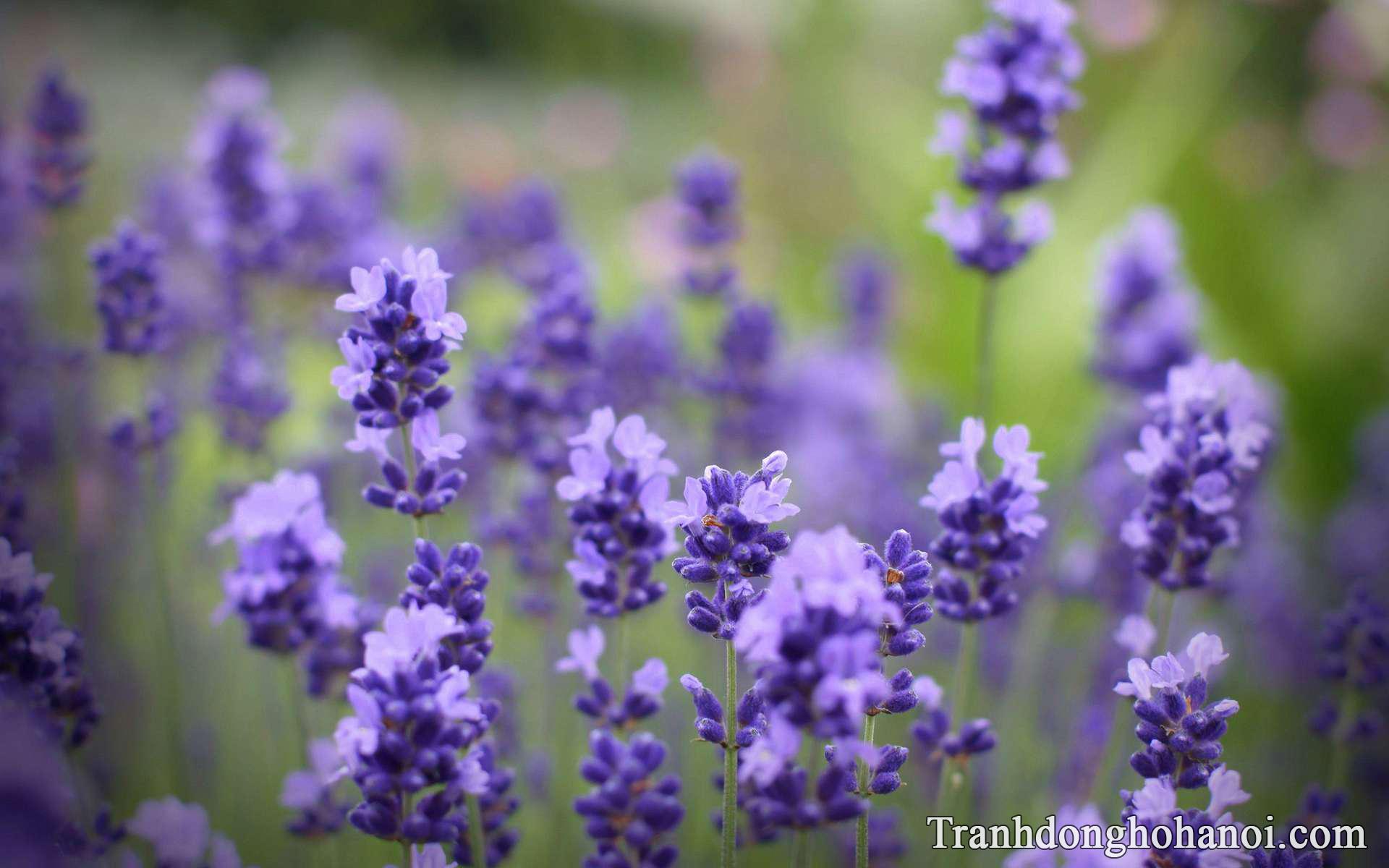 Mau hinh anh hoa lavender cuc dep tai AmiA