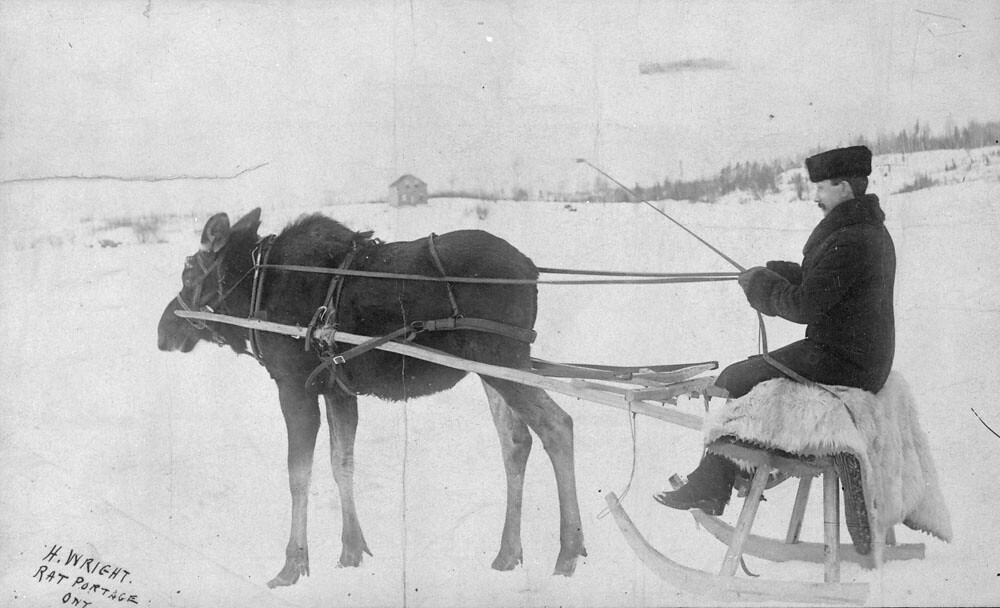 a moose pulling a sleigh rat portage ontario h wright flickr