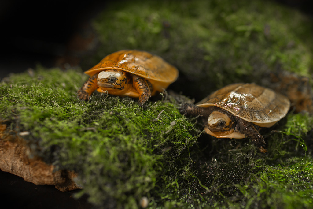 Critically Endangered Bourret's Box Turtles Hatch at the Smithsonian's National Zoo