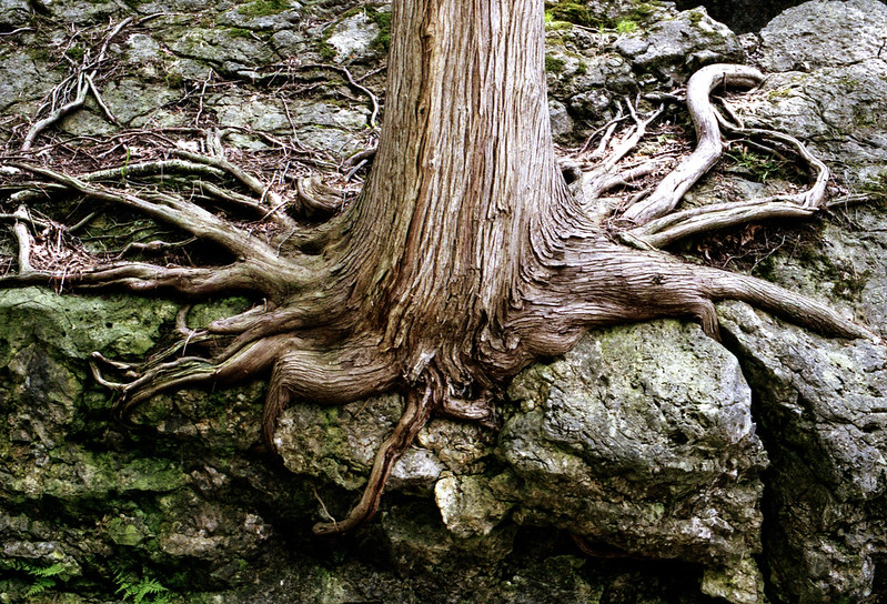 Ceder Trunk and Roots_