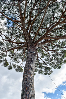 Umbrella Pine, Villa Rufolo, Ravello | by Gwendolyn Stansbury