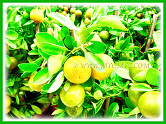 Citrus mitis (Calamansi, Golden Lime, Panama Orange, Calamondin Orange, Chinese Orange, Musk/Acid Orange) fruiting in abundance in our garden, 14 Jan 2013