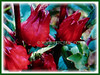 Hibiscus sabdariffa (Roselle, Red/Indian/Jamaican Sorrel, Rosella, Florida Cranberry, Assam Belanda)
