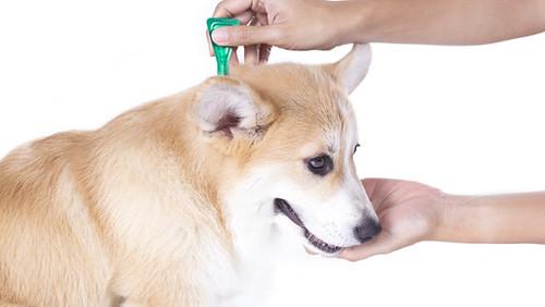 mascotas-antipulgas3