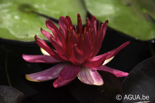Waterlelie Perry's Red Glow / Nymphaea Perry's Red Glow