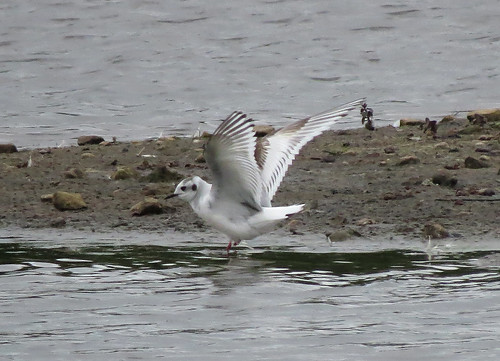 Little Gull Hydrocoloeus minutus Tophill Low NR, East Yorkshire May 2017