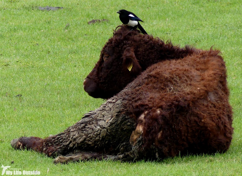 P1070679 - Magpie on Cow