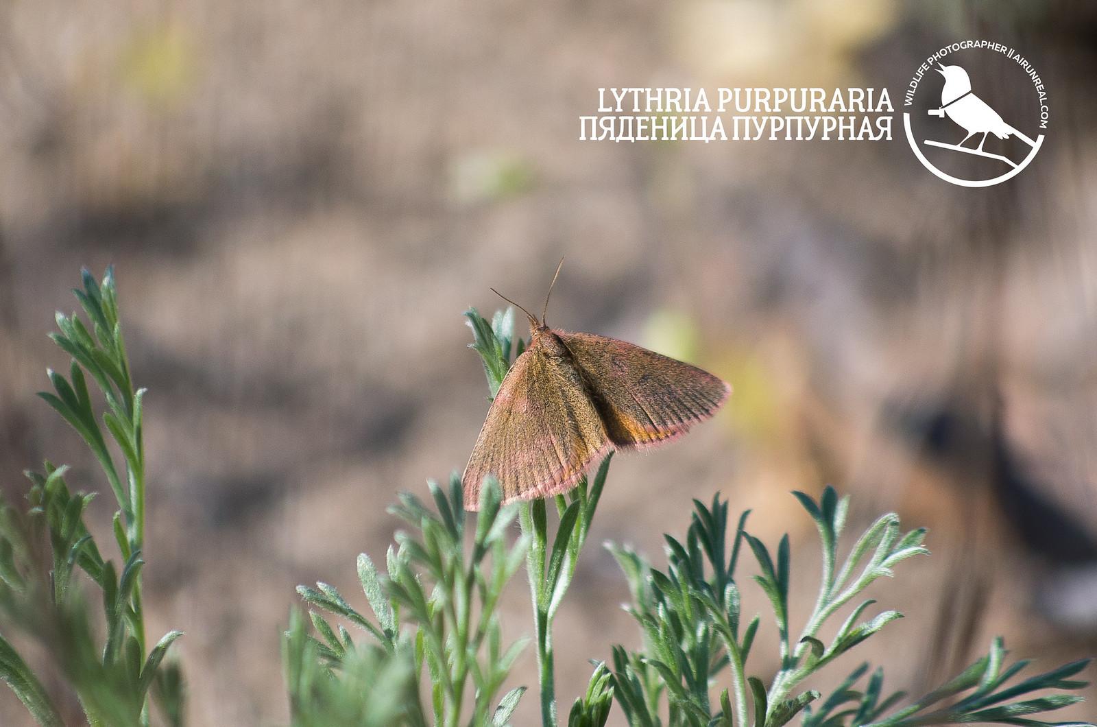 Lythria purpuraria // 20170605