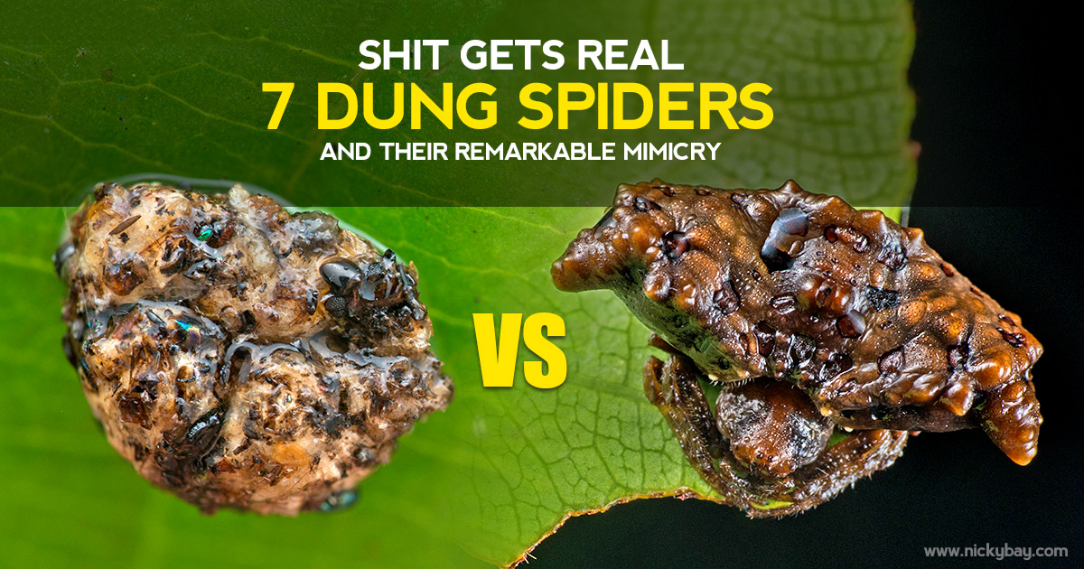 Shit Gets Real - 9 Dung Spiders and their Remarkable Mimicry