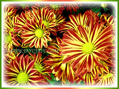 Fabulous orange and yellow bicoloured flowers of Gazania rigens (Treasure Flower, Terracotta Gazania, Coastal Gazania, Butter Flower), 11 June 2010
