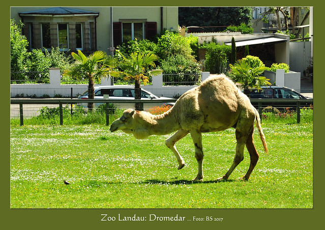 Tierfotografie: Dromedare Zoo Landau, Mai 2017 ... Fohlen Jumara, Mutter Jaqueline, Oma Salome und Tante Samira ... Foto: Brigitte Stolle, Mannheim
